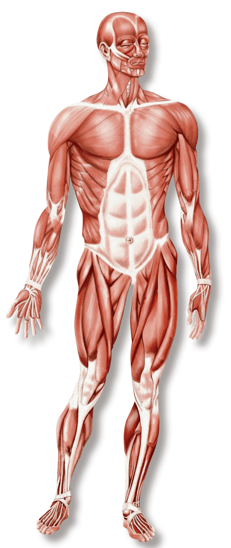 biggest muscles in the human body - HD771×1822